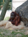 Female orangutan sitting quietly Stock Photo