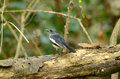 Female oriental magpie robin beautiful copsychus saularis standing on dead bamboo Royalty Free Stock Photography