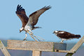 Female osprey watches as male osprey brings nesting materials to the nest Royalty Free Stock Image