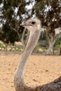 Female Ostrich Royalty Free Stock Photo