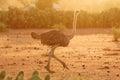 Female ostrich amboseli park kenya at sunrise Royalty Free Stock Image