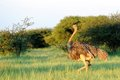 Female Ostrich in the grass Royalty Free Stock Photo