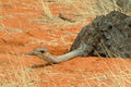 Female Ostrich (Struthio camelus) Kalahari Royalty Free Stock Photos