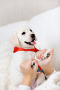 The female owner hands the paws of puppy white labrador with red ribbon on neck Stock Image