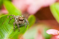 Female pantropical jumping spider plexippus paykulli in colorf resting colorful scene Stock Photo