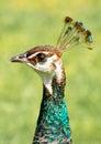 Female peacock head Royalty Free Stock Photo