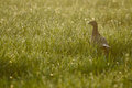Female pheasant Royalty Free Stock Images
