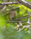 Female pied flycatcher in the safety of the dense vegetation this ficedula hypoleuca feels secure enough to allow a close approach Royalty Free Stock Images