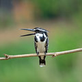 Female pied kingfisher black and white ceryle rudis standing on a branch breast profile Royalty Free Stock Images