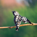 Female pied kingfisher black and white male ceryle rudis standing on a branch breast profile Stock Photos