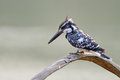 Female pied kingfisher ceryle rudis sitting on a branch Royalty Free Stock Image