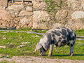 Female pig feeding with teats full of milk for the piglets crato alto alentejo portugal Royalty Free Stock Images
