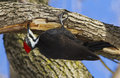 Female pileated woodpecker dryocopus pileatus work Royalty Free Stock Photo