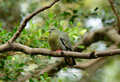 Female Pink-necked Green-Pigeon (Treron vernans) Royalty Free Stock Photos