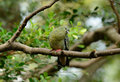 Female Pink-necked Green-Pigeon (Treron vernans) Stock Image