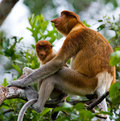 The female proboscis monkey with a baby sits on a tree in the jungle. Indonesia. The island of Borneo Kalimantan. Royalty Free Stock Photo