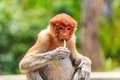 Female proboscis monkey feeding a on leaves in the mangrove forest of borneo Royalty Free Stock Photography