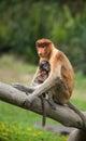 Female proboscis monkey with juvenile sandakan borneo malay a nasalis larvatus sits her at the labuk bay sanctuary outside of Stock Photo