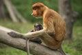 Female proboscis monkey with juvenile sandakan borneo malay a nasalis larvatus sits her at the labuk bay sanctuary outside of Royalty Free Stock Images