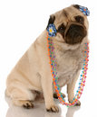 Female pug dog Stock Images