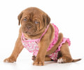 Female puppy dogue de bordeaux wearing pink bikini isolated on white background weeks old Royalty Free Stock Images