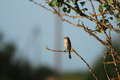 Female red backed shrike evening light Royalty Free Stock Photo