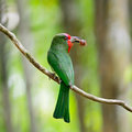 Female red bearded bee eater beautiful bird nyctyornis amictus standing on a branch back profile in the feeding season Royalty Free Stock Photography