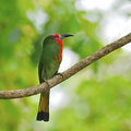 Female red bearded bee eater a of breast profile standing on a branch Stock Images