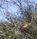 Female red cardinal in tree beautiful alert perched high winter Royalty Free Stock Image