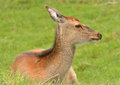 Female Red Deer Royalty Free Stock Image