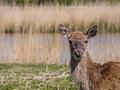 Female red deer looking straight into the lens Royalty Free Stock Photos