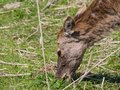 Female red deer a young eating grass Royalty Free Stock Photography