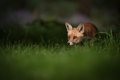 Female red fox dappled light early morning Stock Photos