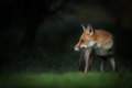 Female red fox gentle light early morning sudden sound distance has caught her attention Stock Images