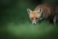Female red fox looking towards camera Stock Photo