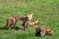 Female Red Fox with pups Royalty Free Stock Image