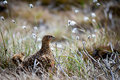 Female red grouse lagopus lagopus scotica and baby in the cotton grass Stock Images