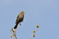 Female red winged blackbird perched in a tree spring Stock Image