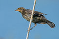 Female Red-winged Blackbird Royalty Free Stock Photo