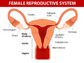 Female reproductive system human anatomy uterus and uterine tubes vector diagram Stock Photo