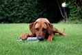 Female ridgeback in a garden jack russel chewing bottle the grass Royalty Free Stock Image