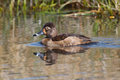 Female ring necked duck swimming in calm waters of a pond Stock Image