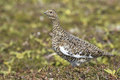 Female Rock ptarmigan in summer plumage n background summer tund Royalty Free Stock Photo