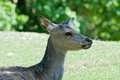 Female roe deer Royalty Free Stock Photos