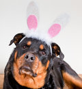 A female rottweiler with a bunny ears headband on her head posing with lifted ears and an eager expression while resting on a dog Royalty Free Stock Photo