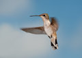 Female ruby throated hiummingbird in flight looking at the viewer against partly cloudy sky Stock Image