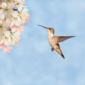 Female Ruby-throated Hummingbird Stock Images