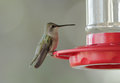 Female ruby throated hummingbird archilochus colubris on feeder filled with nectar sugar water selective focus with very soft Royalty Free Stock Photography