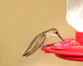 Female Ruby-throated Hummingbird at feeder Stock Photo