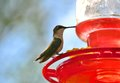 Female Ruby-Throated Hummingbird Royalty Free Stock Photo